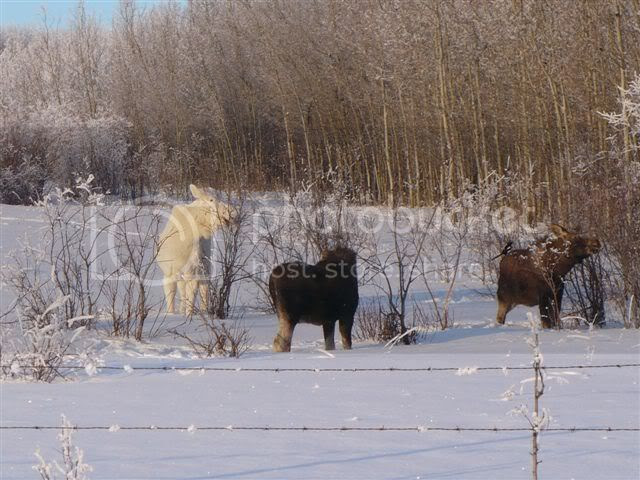 moose new hampshire Pictures, Images and Photos