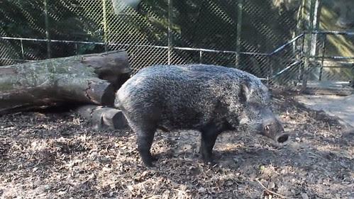 boar01