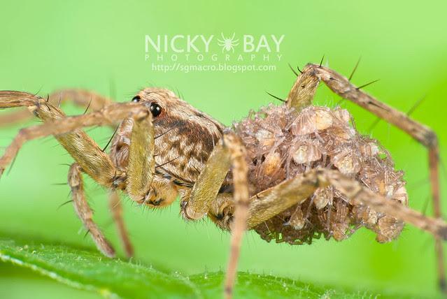 Wolf Spider (Lycosidae) - DSC_3500b