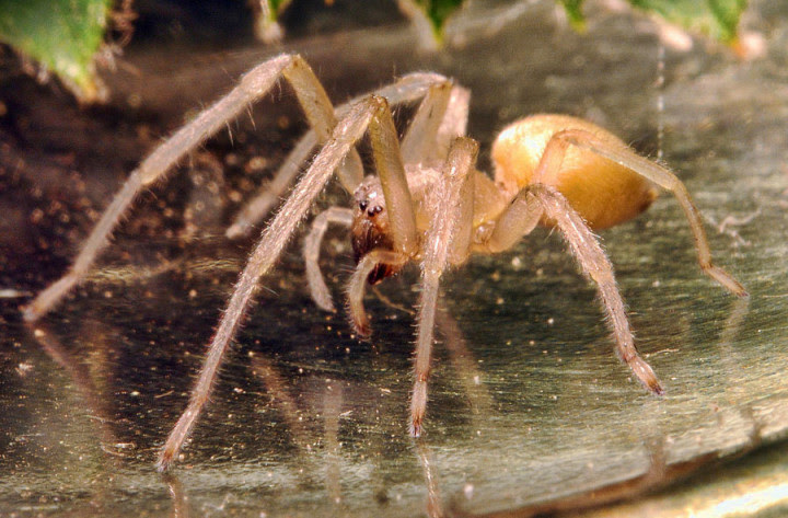 10 most dangerous spiders in the world 3