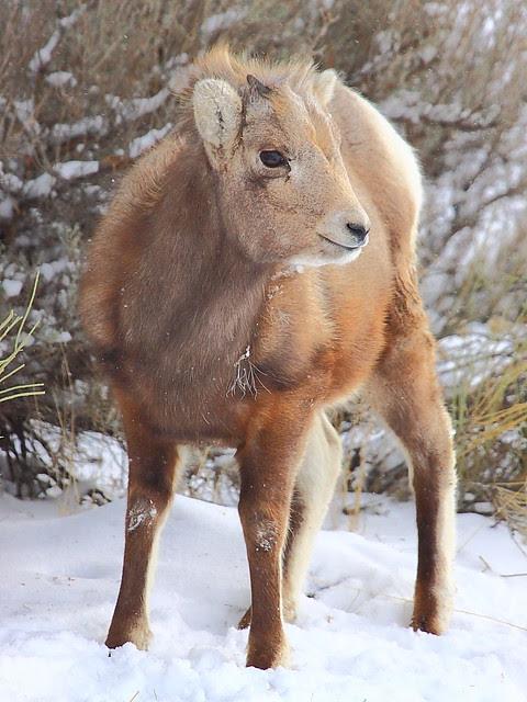 IMG_5168 Bighorn Sheep Lamb, Yellowstone National Park