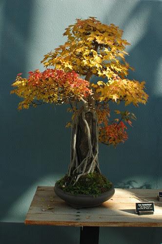 Acer buergerianum, Bonsai, Root over rock style, Brooklyn Botanic Garden