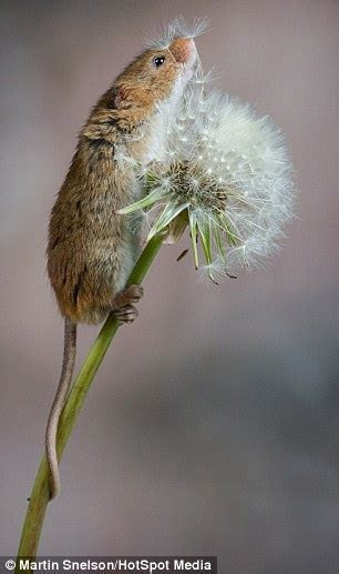 Cute moment tiny mouse climbs a dandelion and plays with the flower   Daily Mail Online