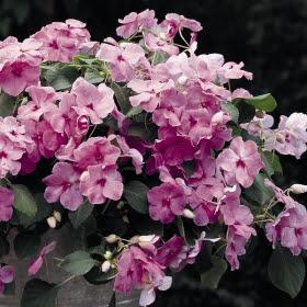 Flitiga Lisa i gruppen Ettåriga blomsterväxter hos Impecta Fröhandel (203)