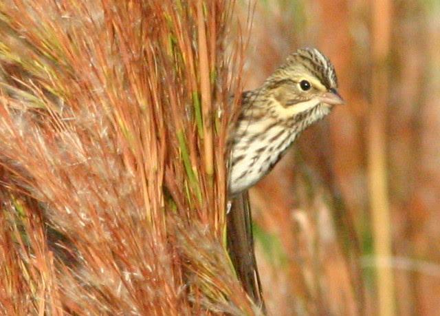 Savannah Sparrow 2008_10_31