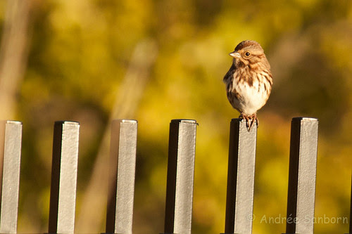Song Sparrow (Melospiza melodia) (maybe)-5.jpg