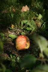Õunakoristus