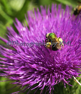 purple thistle macro with a bee