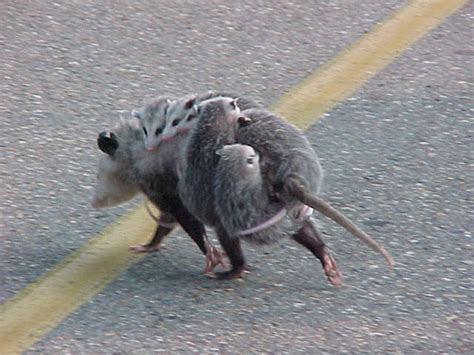 Cute Possum Images 2013   Funny And Cute Animals