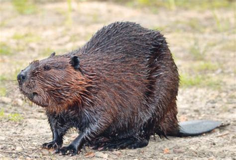 Beavers ? Engineering Marvel or Farmer?s Frustration » Panhandle Agriculture