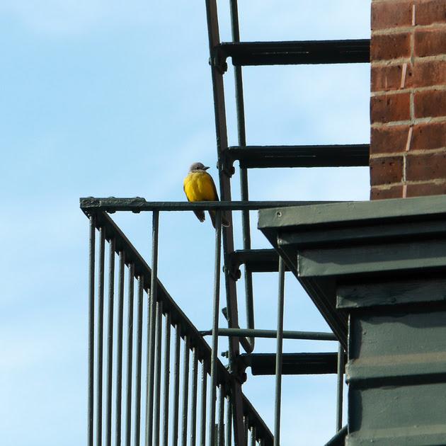 Ed Gaillard: birds &emdash; Couch's Kingbird, Greenwich Village