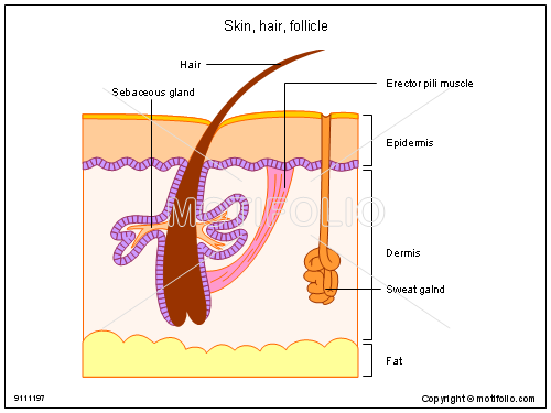 Skin hair follicle 9111197