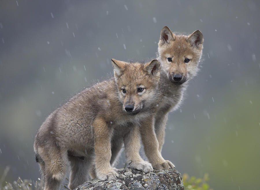 Foto De Cachorros De Lobo Imágenes Y Fotos
