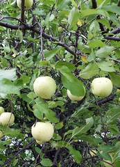 Apples_10110d