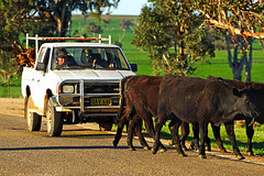 IMG_4566_Cattle_Drive
