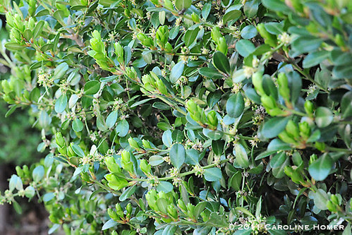 Boxwood in bloom