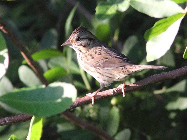 Lincoln's Sparrow 20131016