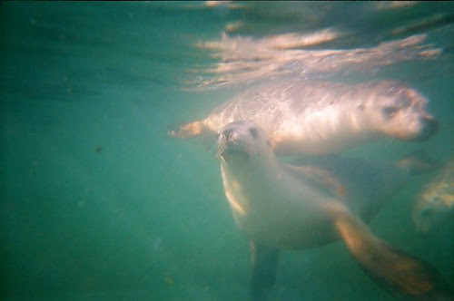 Green Head - Sea lions