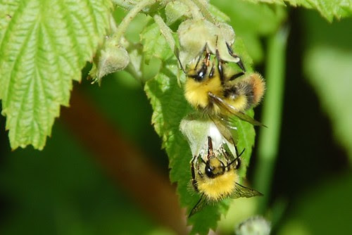 bumble bees on raspberry flowers