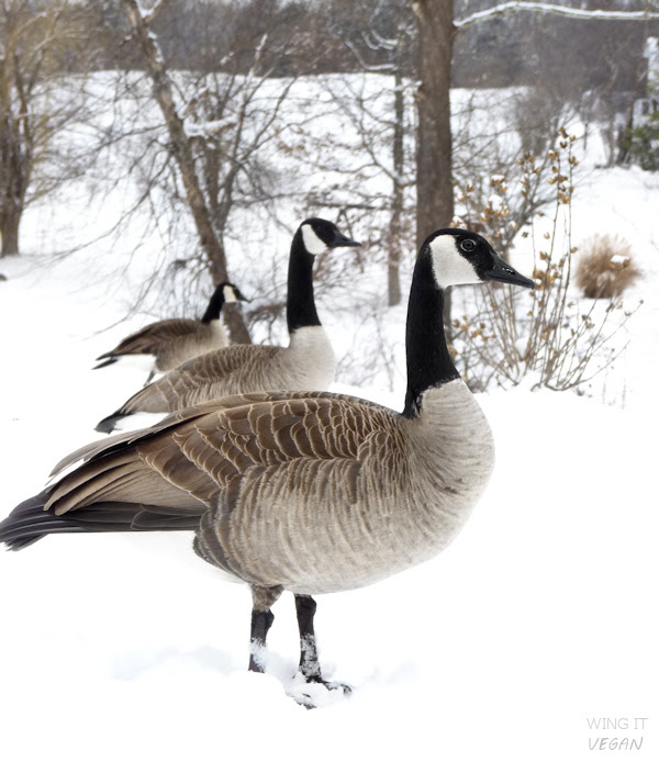 Which goose is closer?