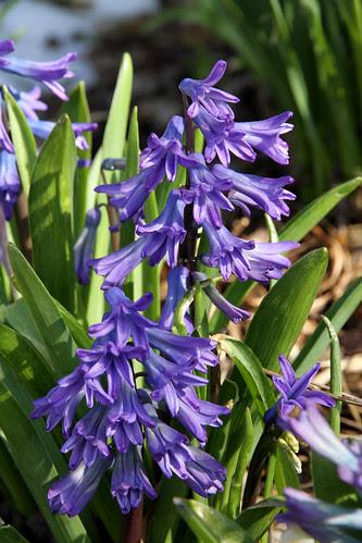 hyacinth_pur
