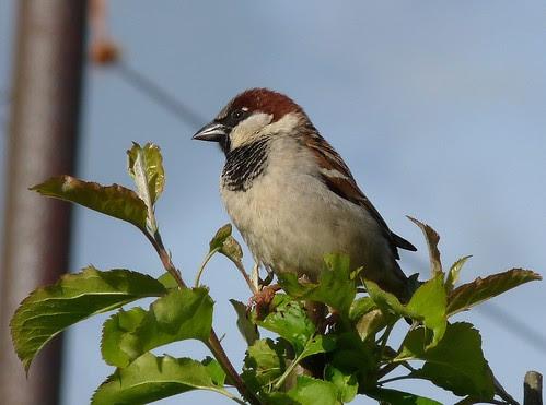 12463 - House Sparrow