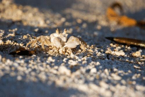sand_crab.gif