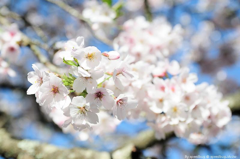 阿里山櫻花季86