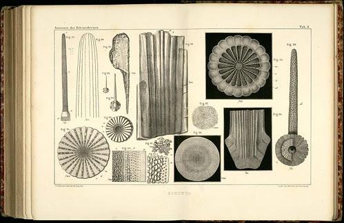 Anatomie des Echinodermes