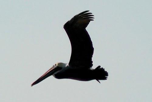S1210004_Pelican