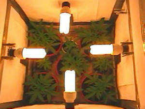 Grow Marijuana Indoors Light