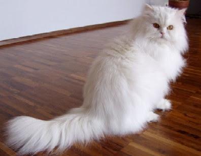 Unduh 94+  Gambar Kucing Anggora Campuran Paling Imut