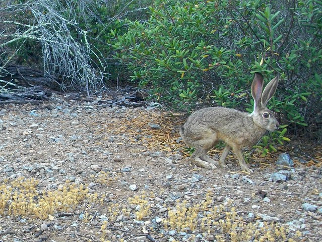 bt jackrabbit