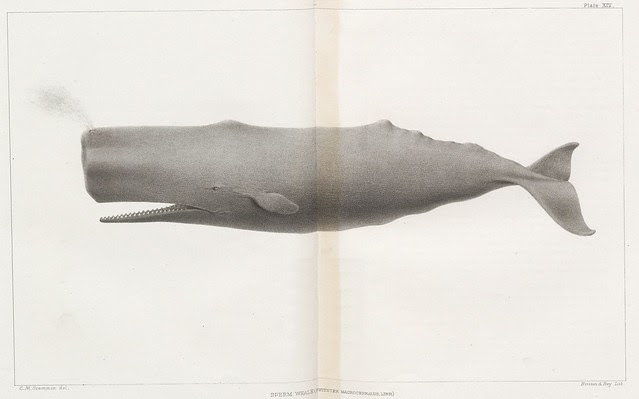 Sperm Whale (Physeter macrocephalus, Linn.)