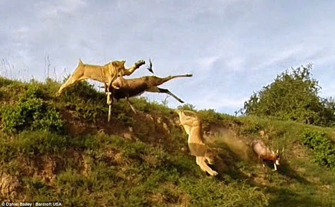 #WTF - Leaping Lion Catches Antelope In Mid-Air Attack