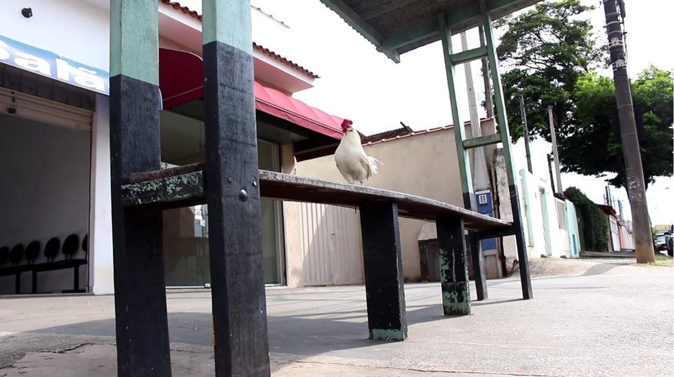 Conheça Zico, um galo que virou xodó em bairro de Sorocaba e anda até de ônibus.