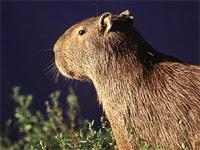 Capybara (Hydrochoerus hydrochaeris) © Somebody Else