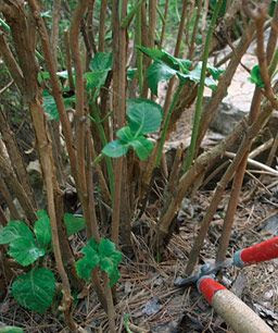 Pruning Hydrangeas - I so need this one as I thought for years that you cut them to the ground each fall - NO NO !!