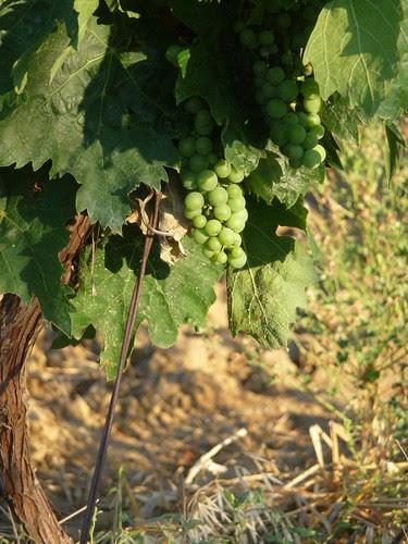 July grapes