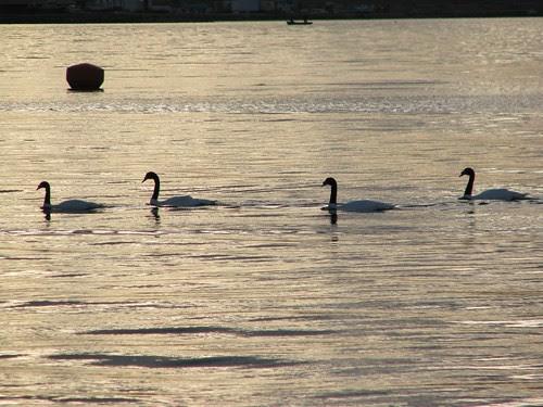 p natales swans