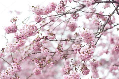 fondo flor pantalla rosa flor de cerezo en primavera