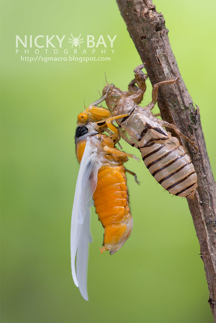 Black and Golden Cicada (Huechys fusca) - DSC_9423