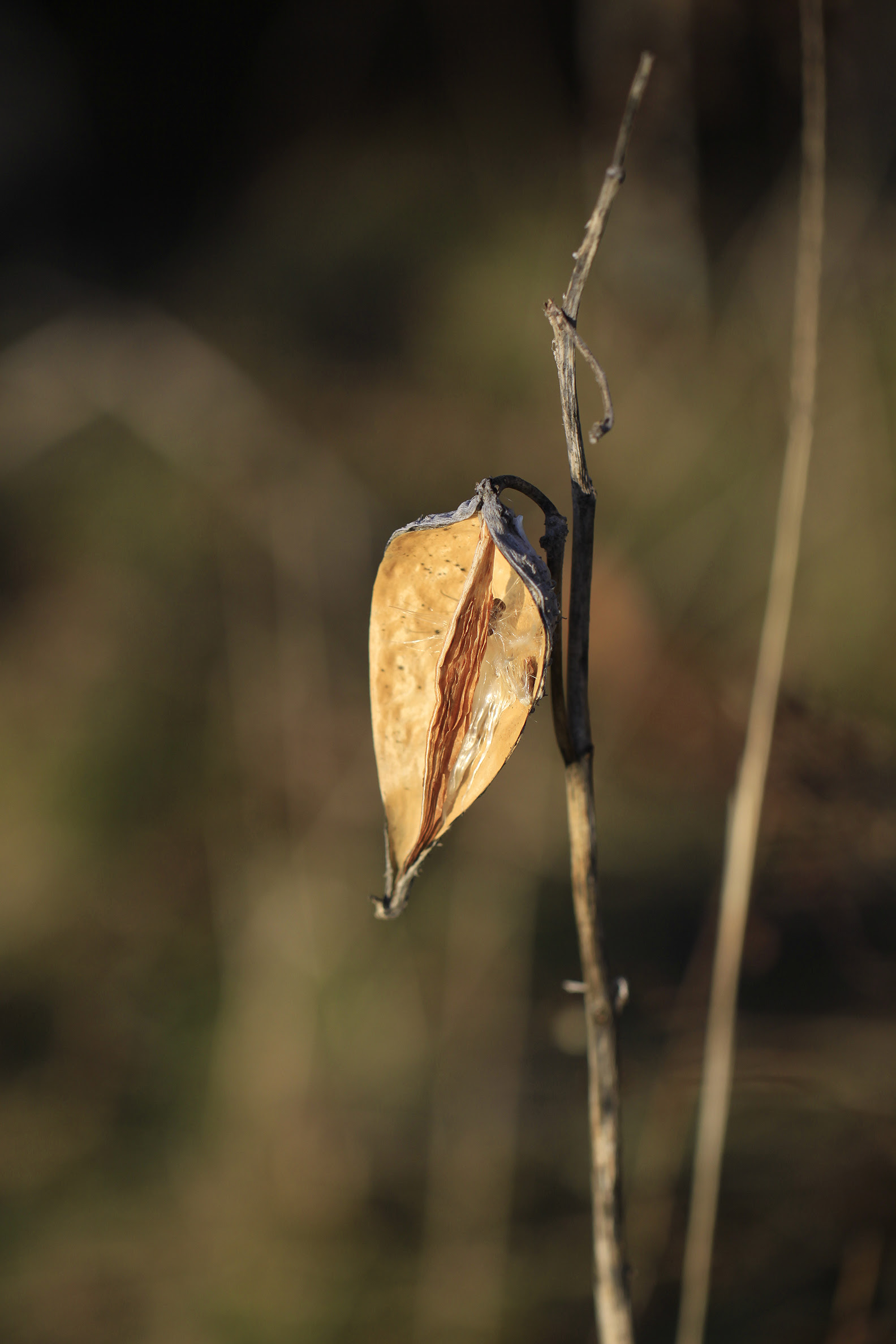 milkweed pod almost empty