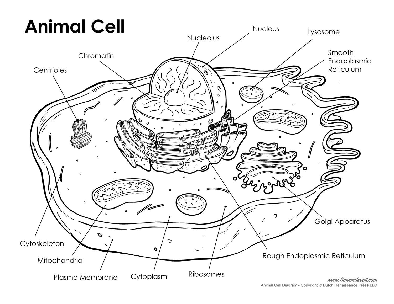 animal-cell-labeled - Tim van de Vall