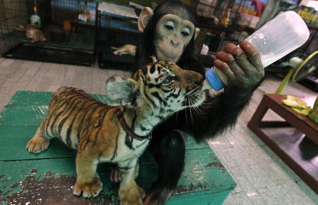 Foto Simpanse Menyusui Bayi Macan
