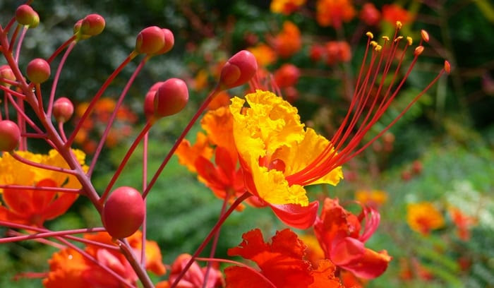 The Pride Of Barbados Gis