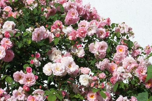 Ganzen Roses