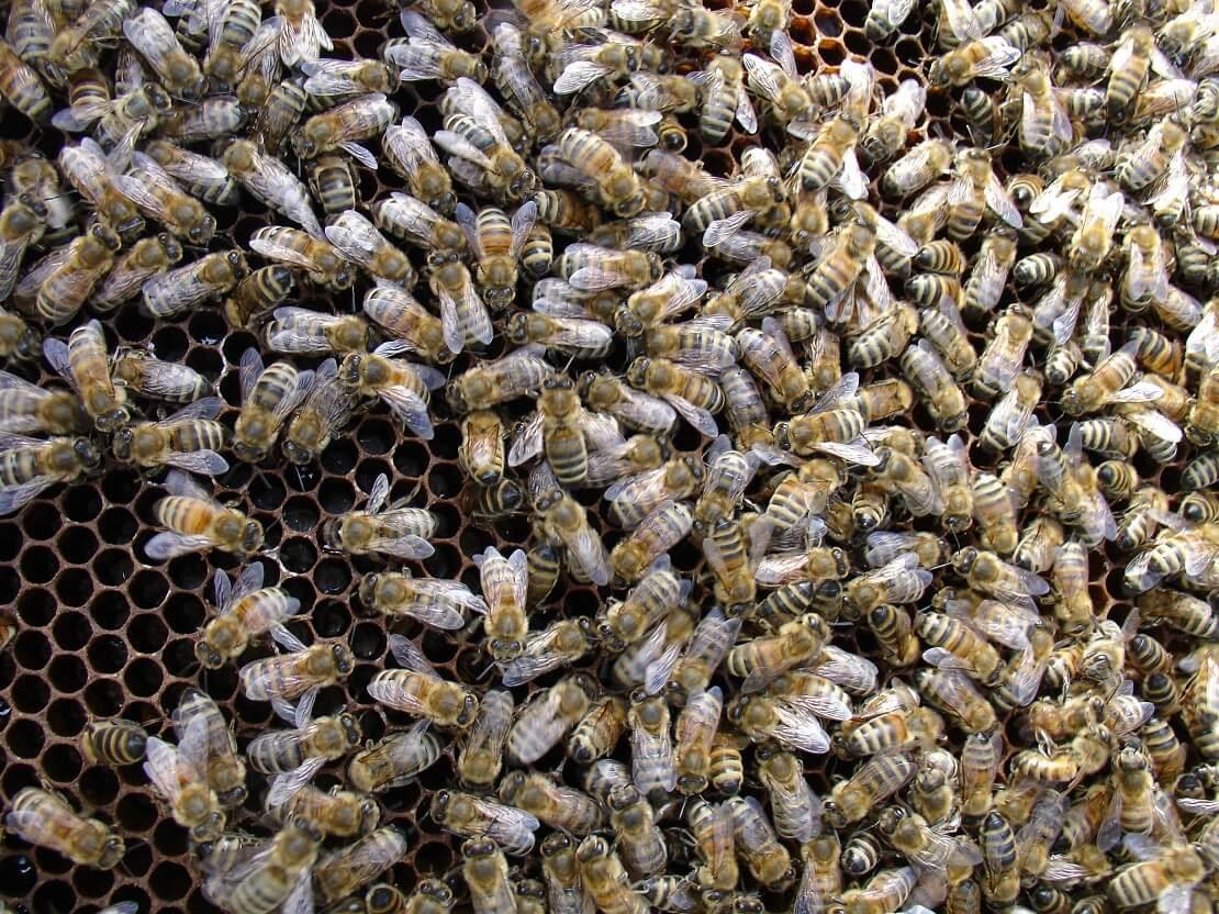Arılar Hakkında Kısa Kısa Bilgiler
