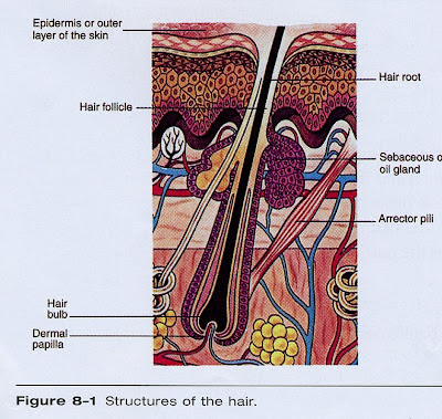 Hairs Anatomy Understand Those Hair Strands Killerstrands Hair