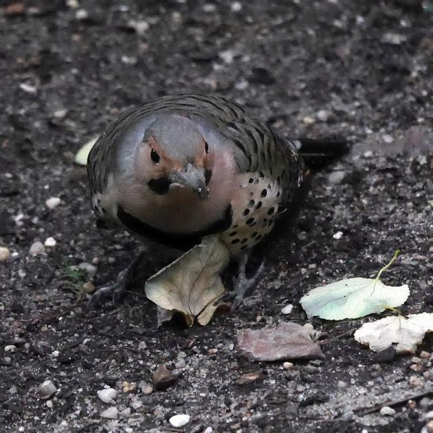 Ed Gaillard: birds &emdash; Northern Flicker, International Paper Plaza